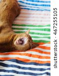 Small photo of Purebred abyssinian yawning cat on couch, indoor