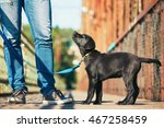Stock photo morning walk with dog black labrador retriever young man is training his puppy walking on the 467258459