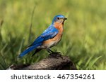 beautiful male eastern bluebird ... | Shutterstock . vector #467354261