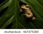 Common Tree Frog Sitting In...