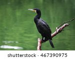 Cormorant Sitting On Branch...