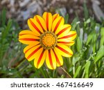 Vibrant Red And Yellow Gazania...