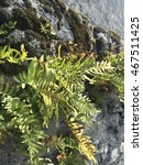 Common Polypody Fern ...