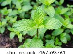 thai peppermint with droplets | Shutterstock . vector #467598761