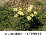 Small photo of Austria, Tirol, yellow alpine anemone