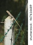 Small photo of Alert Common garden fence Agamid lizard (Calotes versicolor) on a fence post in south Sri Lanka