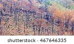 Burnt Eucalyptus Trees After A...