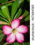 Small photo of Red Desert Flower, adenium obesum.