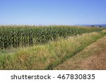 Small photo of Corn growing in southern British Columbia will be ready to harvest in a few weeks/Southern British Columbia Corn/Corn growing in southern British Columbia will be ready to harvest in a few weeks.