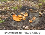 Small photo of Bright color of Orange peel fungus aleuria aurantia contrasts against the old weathered eucalypt tree stump in a Jarrah forest in late winter in south west Australia.