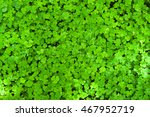 Fresh Clover Leafs Covered Wit...