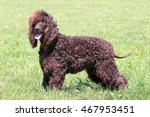typical irish water spaniel in... | Shutterstock . vector #467953451