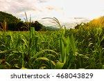 Green Cornfield In Plantation ...