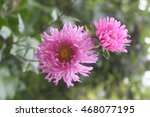 Pink Asters Flowers On A...