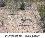Stock photo black tailed jackrabbit lepus californicus running among the creosote bush big bend national 468113504