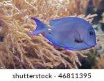 A Blue  Stripped Triggerfish ...