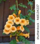 Small photo of Yellow Trumpet Creeper variety Flava