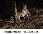 siberian musk deer  moschus... | Shutterstock . vector #468225845
