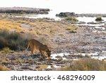 Lioness Drinks At Chauritsaub...