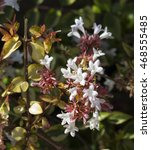 Small photo of Beautiful white tubular flowers of abelia grandiflora flowering in spring summer and autumn contrast against the glossy variegated yellow and green foliage and pink buds.