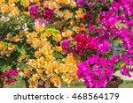Colorful Bougainvillea Flower ...