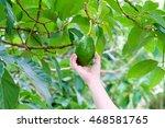 Pick Avocado In The Tree
