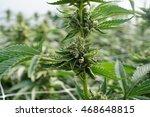 large cannabis indica marijuana ... | Shutterstock . vector #468648815