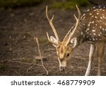 Axis Deer Male Portrait Great...