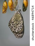 Butterfly Eclosion