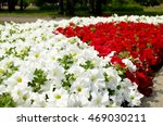 Flowerbed Of White And Red...