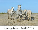 white camargue horses on the... | Shutterstock . vector #469079249