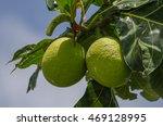 Breadfruit  Artocarpus Altilis