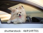 Pomeranian Dog In Car. Cute Do...