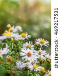 Small photo of Photo of European michaelmas daisy Aster amellus with blurred bokeh background. Alpine aster, family Asteraceae.