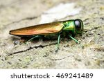 Small photo of Agrilus planipennis - Emerald ash borer