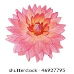 Single Dahlia Flower Isolated...
