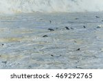 cape fur seals swimming in...   Shutterstock . vector #469292765