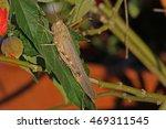 egyptian grasshopper on a