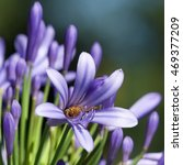 Small photo of Honeybee on agapanthus