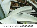 Close Up Of Huge Agave Plants...
