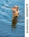 Small photo of The Bathing Wallowing In Blue Water Of River Lake Alsatian Wolf Dog Long-Haired Wet Black And Red And Tongue. Deutscher, German Shepherd Dog. Copy Space