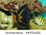 Small photo of Achilles Tang (Acanthurus achilles) in Aquarium