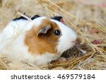 Cute Red And White Guinea Pig...