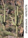 Постер, плакат: pair of saguaro cacti