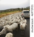 Tilted View Of Sheared Sheep O...