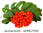 bunch of red rowan isolated on... | Shutterstock . vector #469817555
