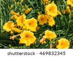 Day Lily Flowers