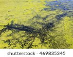 Green Algae And Duckweed In Th...