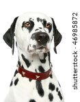 Dalmatian Puppy Portrait In Re...