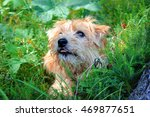 Norfolk Terrier In The Grass